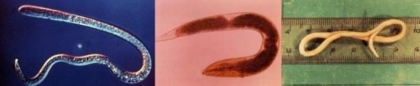 Представители круглых червей слева направо: трихинелла, острица, аскарида