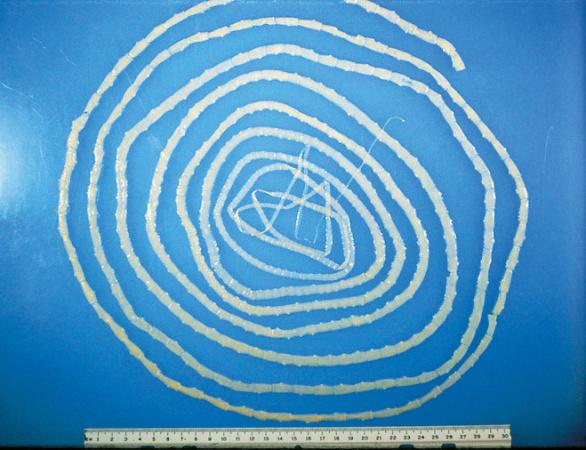 Бычий цепень достигает в размере до 40 метров