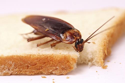 Тараканы - один из переносчиков паразита