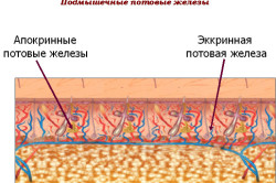 Подмышечные потовые железы