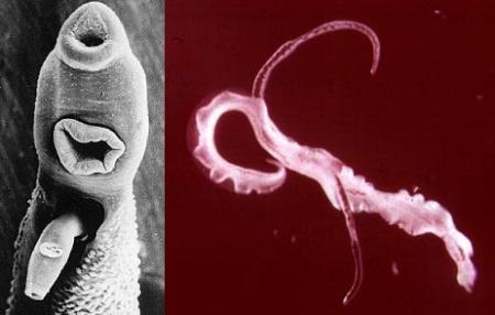 Шистосома, вызывает одноименное заболевание шистосомоз