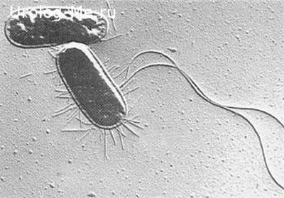 Микроб возбудитель уреаплазмоза