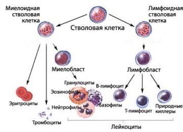 Особенности развития волосатоклеточного лейкоза